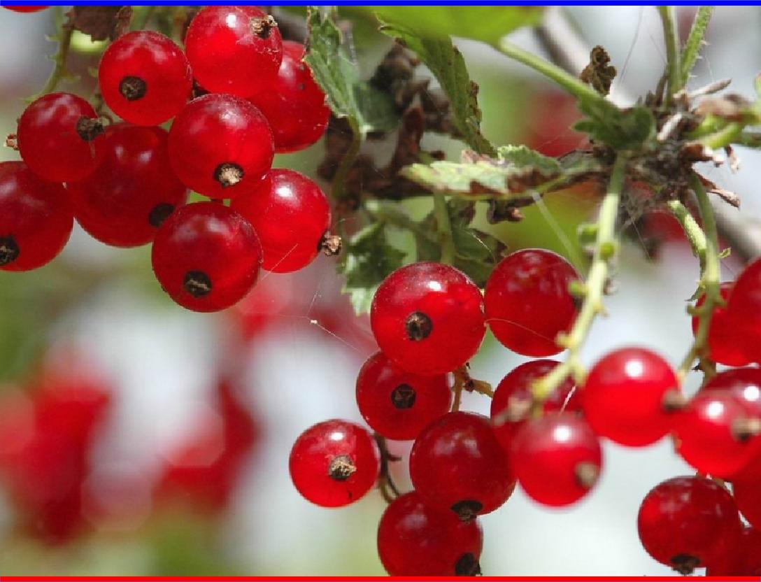 кислица фото ягода